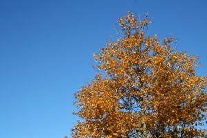 yellow tree blue sky